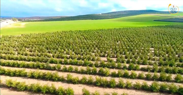 Oleo Real - Plantaciones